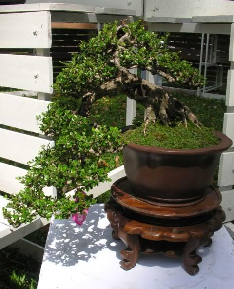 Bonsai exhibition at Spring Flower Festival (viet Nam) 72Antidesmaacidum15