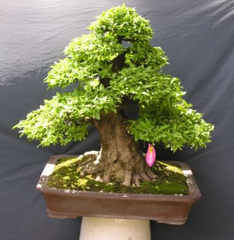 Bonsai exhibition at Spring Flower Festival (viet Nam) 73Wrightiareligiosa14