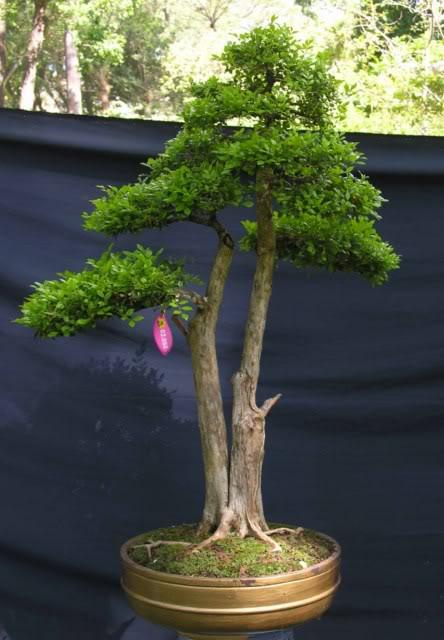 Bonsai exhibition at Spring Flower Festival (viet Nam) 74OrangeJasmine4