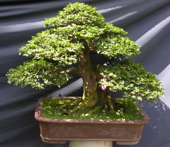 Bonsai exhibition at Spring Flower Festival (viet Nam) 75Triphasiatrifoliata2