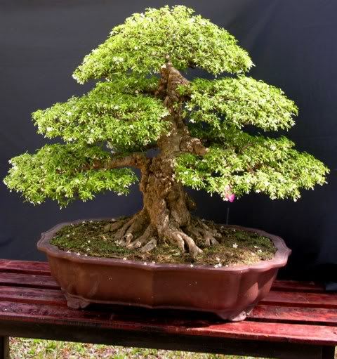 Bonsai exhibition at Spring Flower Festival (viet Nam) 76Wrightiareligiosa3