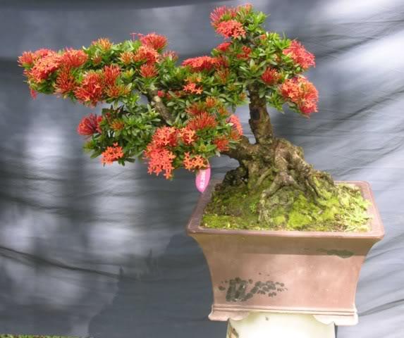 Bonsai exhibition at Spring Flower Festival (viet Nam) 79Ixora2