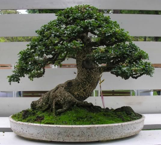 Bonsai exhibition at Spring Flower Festival (viet Nam) 80Feroniellalucida4