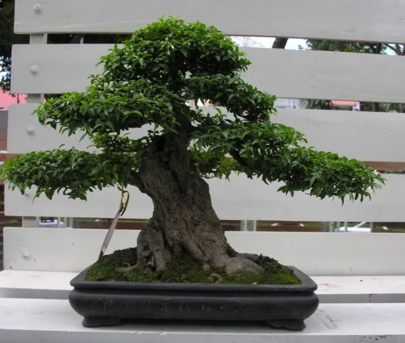 Bonsai exhibition at Spring Flower Festival (viet Nam) 81Wrightiareligiosa259