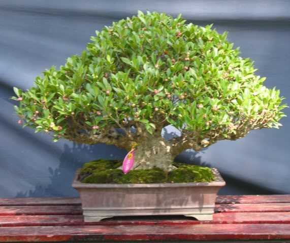 Bonsai exhibition at Spring Flower Festival (viet Nam) 82Ficus6