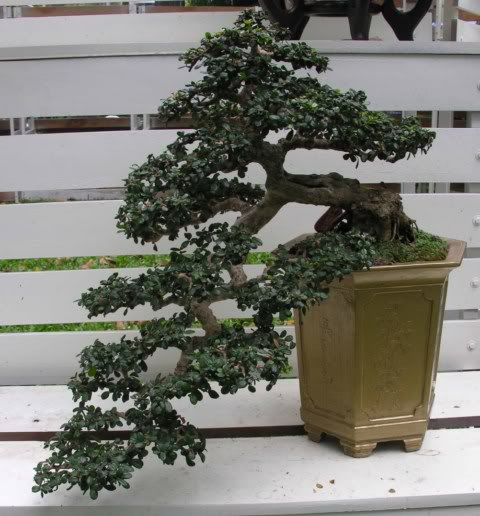 Bonsai exhibition at Spring Flower Festival (viet Nam) 83Antidesmaacidum12