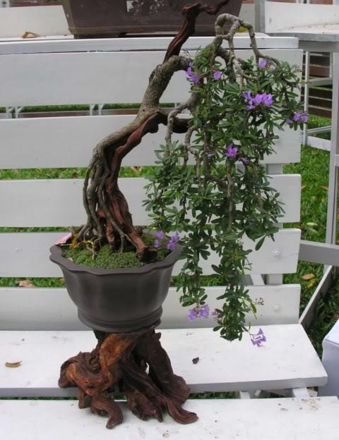 Bonsai exhibition at Spring Flower Festival (viet Nam) 84Desmodiumunifoliatum8