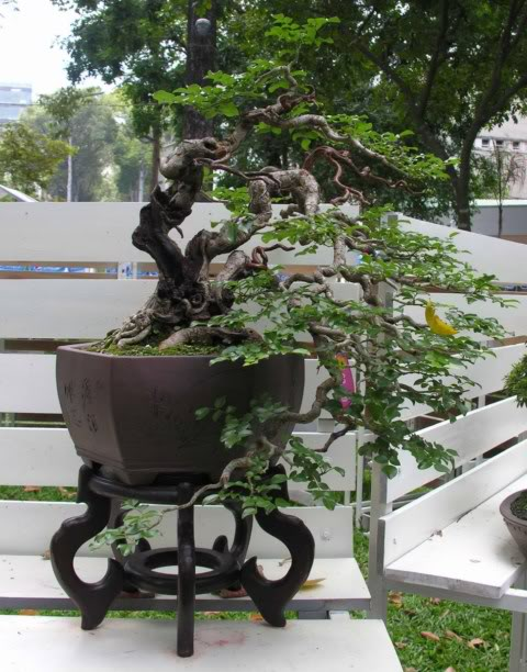 Bonsai exhibition at Spring Flower Festival (viet Nam) 86trac