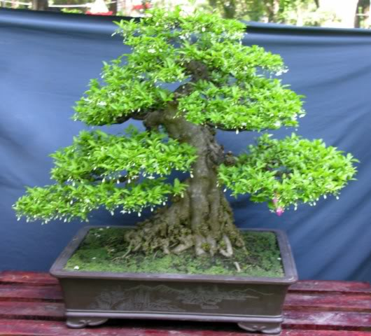Bonsai exhibition at Spring Flower Festival (viet Nam) Wrightiareligiosa