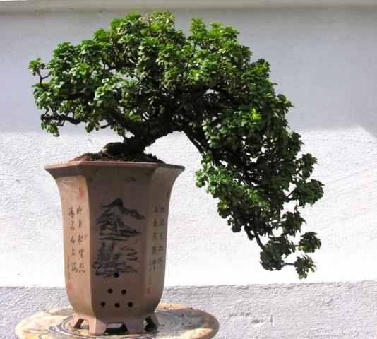 Aglaia odorata twenty years in pots Ngautauhh