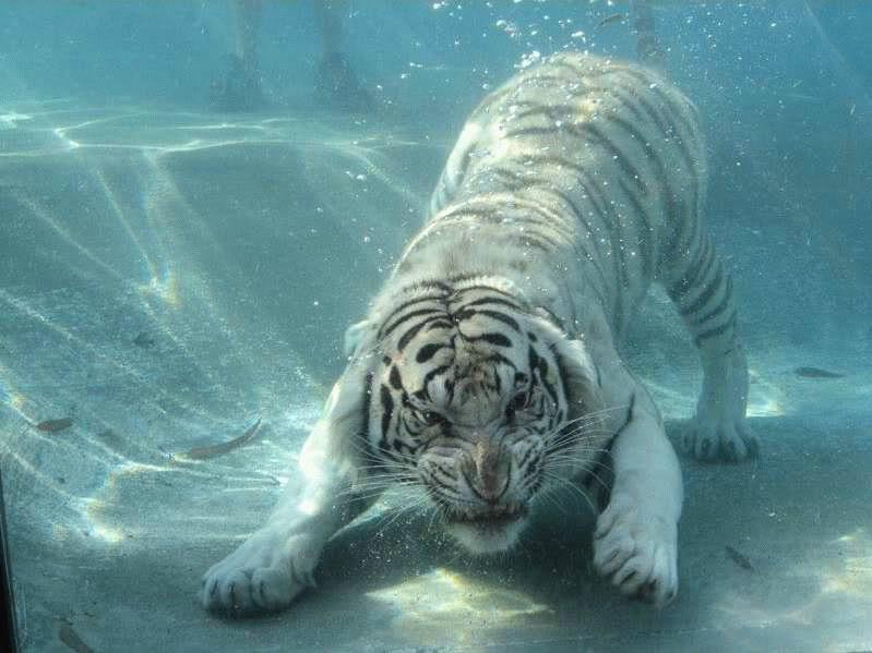 \~~~\White tiger/~~~/ WhiteTigerSwimming2