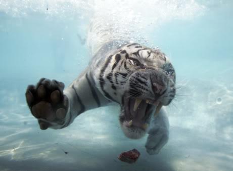 \~~~\White tiger/~~~/ WhiteTigerSwimming8