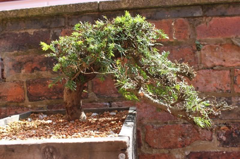 Windswept Yew 001copy-2