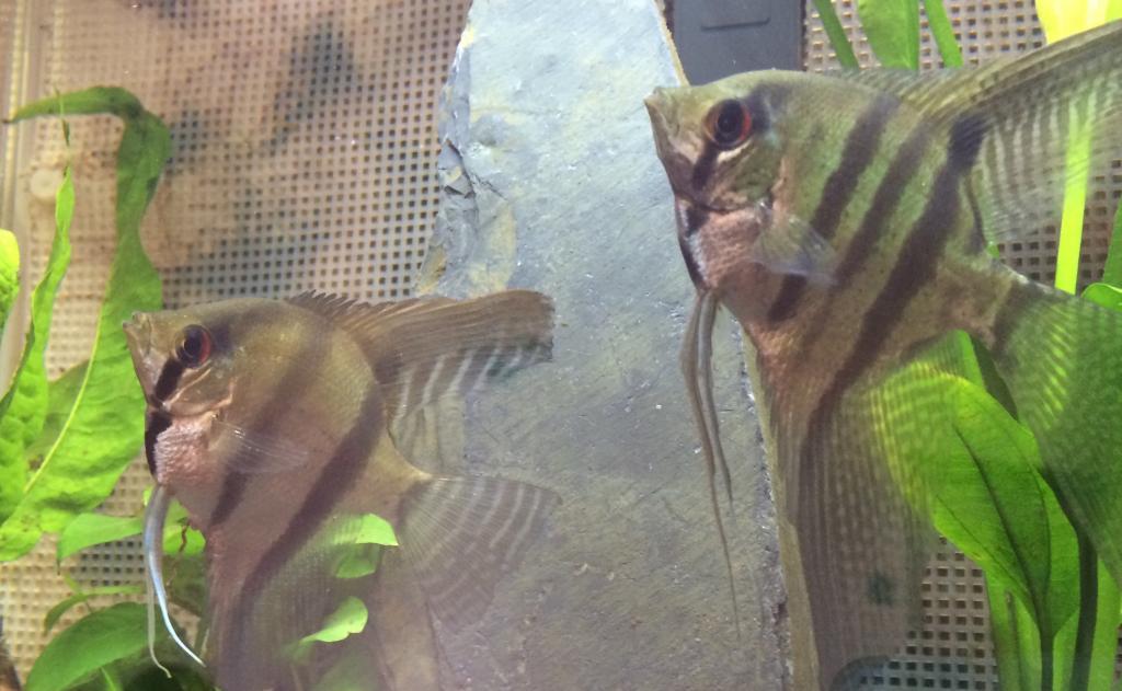 Sex of Angel Fish  36aea2b1-6639-47fe-a286-185c912edd53_zpscb05945e