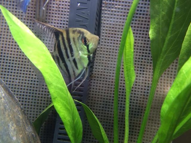 Sex of Angel Fish  Photo1_zps6510d801