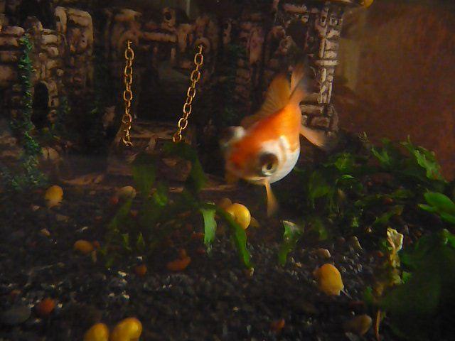 Mis Goldfish poniendo huevos P1050877