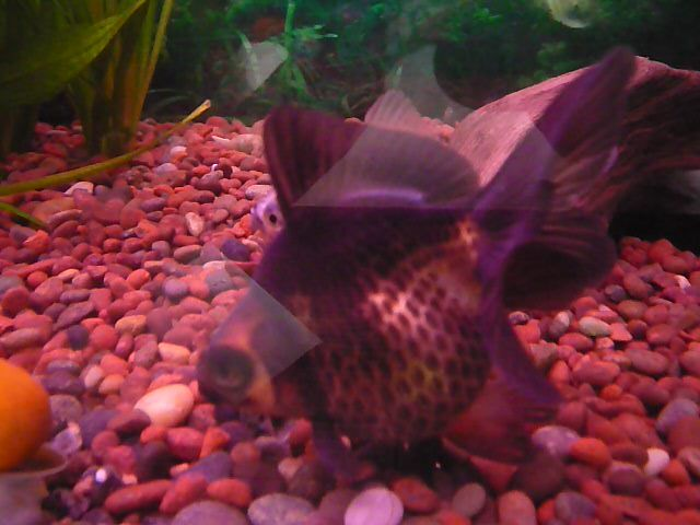 Mis Goldfish poniendo huevos P1050952