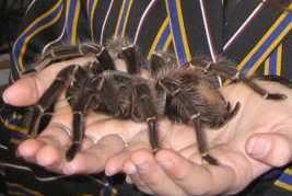 Top 10 de: De todo Goliath-tarantula
