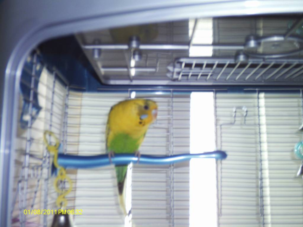 My flock of Budgies Bella6