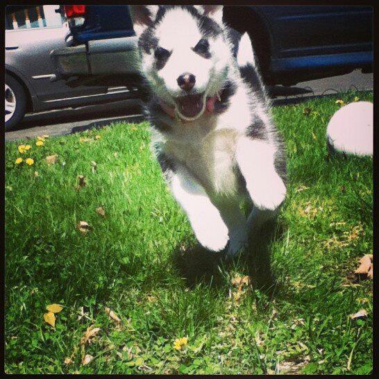 Say Hello To Laika! Update- May 4 new pics 262586_10200256782677078_1290763914_n_zpsb20f1396