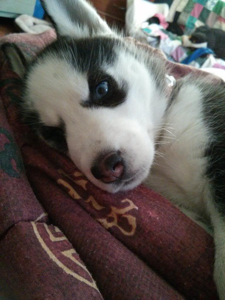 Say Hello To Laika! Update- May 4 new pics IMG_20130427_085020_zps71297365
