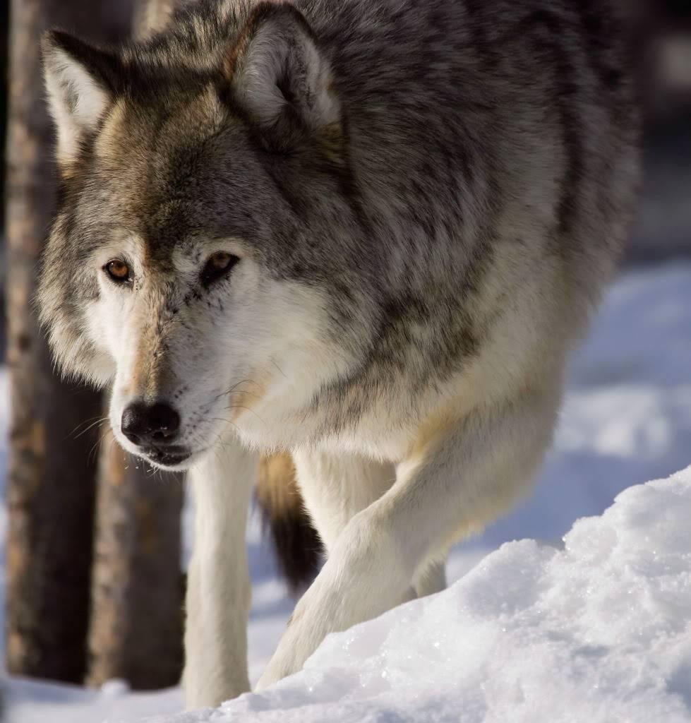 March Art Contest Grey_wolf_walking
