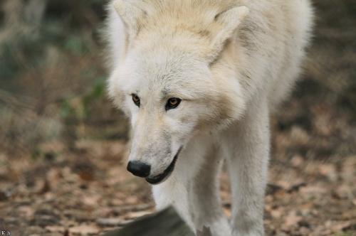| Emilia | W.I.P Wolf_Auh1112-Mon-03_zpsx2jshefn