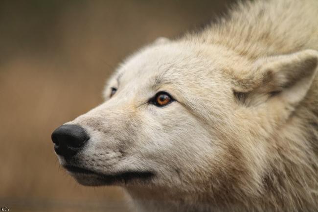| Emilia | W.I.P Wolf_Auh1112-Mon-04_zpskkcfetaq