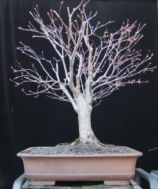 Katsura tree Update 028-Mrz12-CerciJap