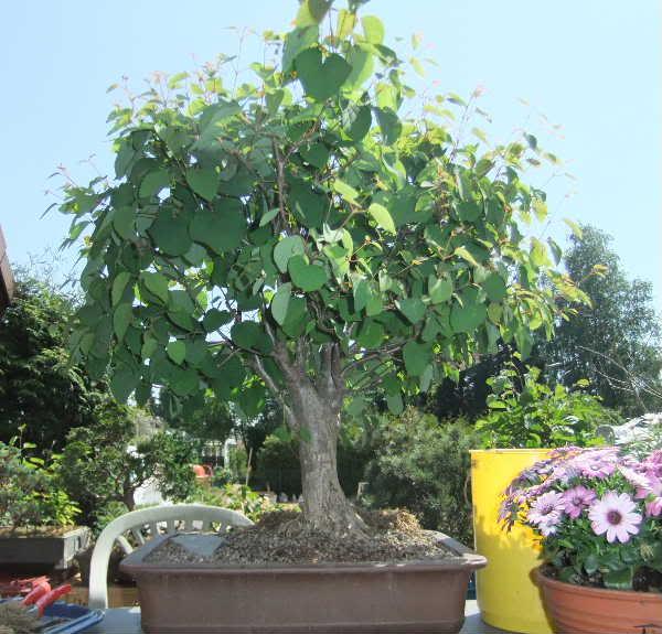 Katsura tree Update 030-Mai12-CerciJap