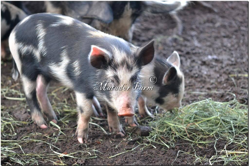 Ossabaw Island Hogs MatadorFarm11_zpsa8b06903
