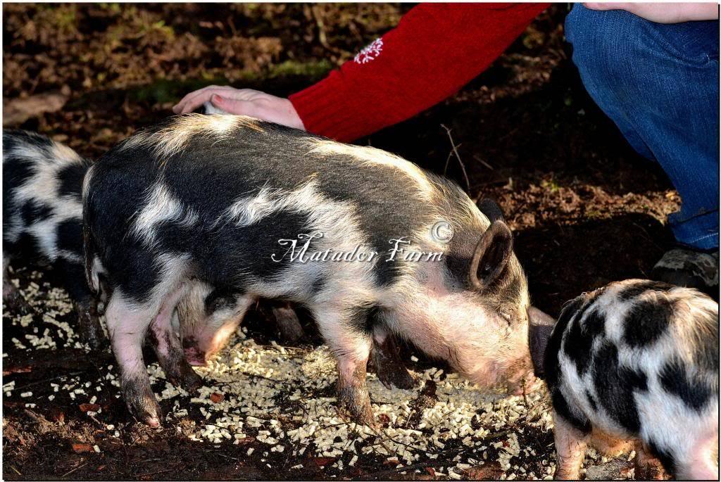 Ossabaw Island Hogs MatadorFarm31_zps85f60942