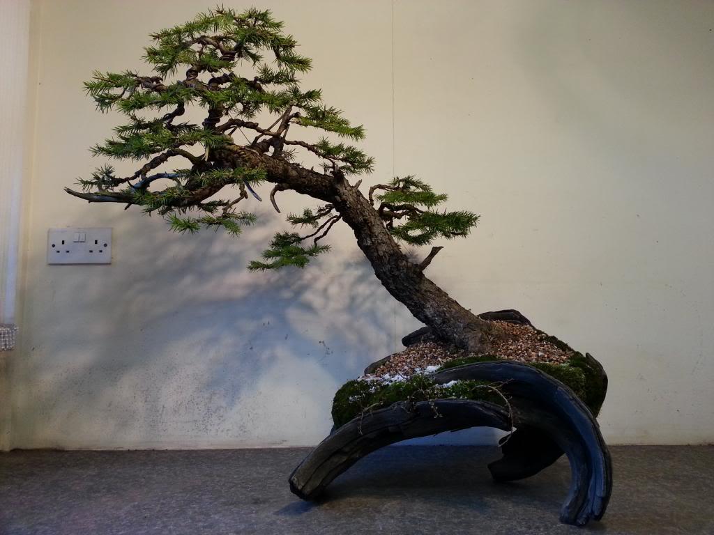 Rob Atkinson's Spruce (Picea Abies) in an Erik Križovenský pot 20130310_173205_zps30b9bd12