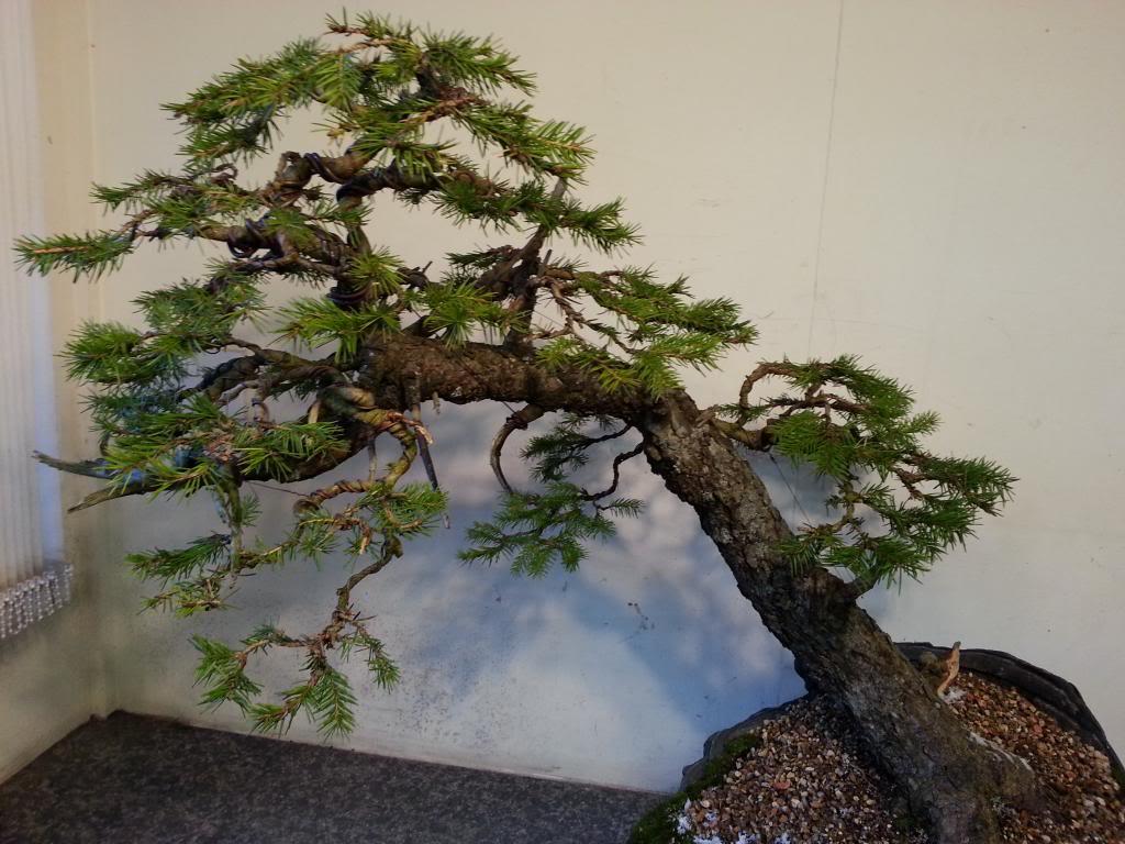 Rob Atkinson's Spruce (Picea Abies) in an Erik Križovenský pot 20130310_173215_zps3012c190