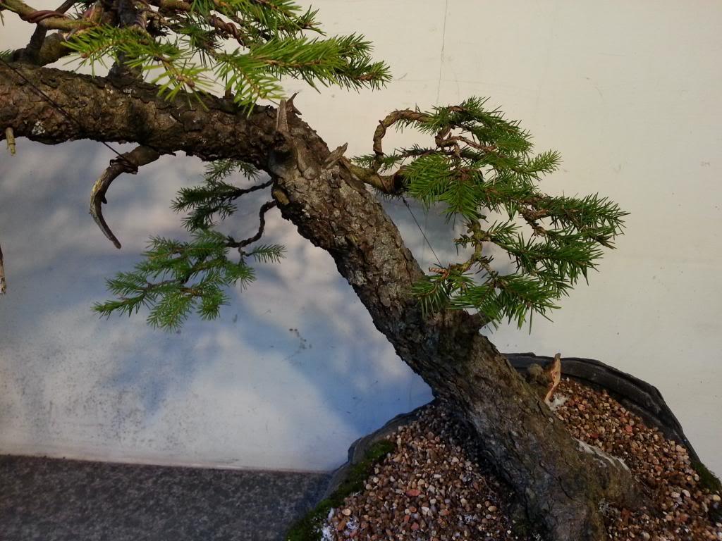 Rob Atkinson's Spruce (Picea Abies) in an Erik Križovenský pot 20130310_173218_zps501b0f29