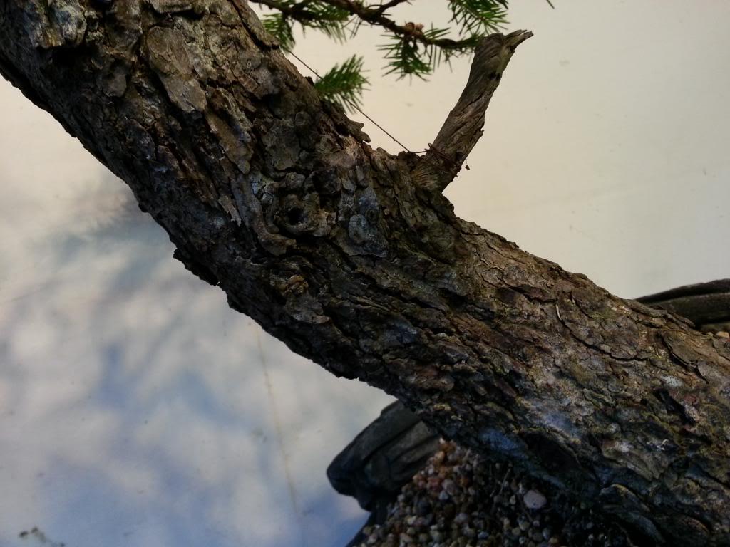 Rob Atkinson's Spruce (Picea Abies) in an Erik Križovenský pot 20130310_173250_zpseffa8f17