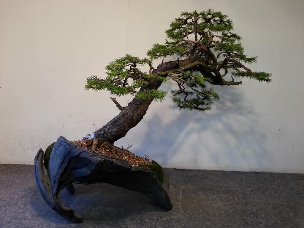 Rob Atkinson's Spruce (Picea Abies) in an Erik Križovenský pot 20130310_173413_LLS_zpsd9266703