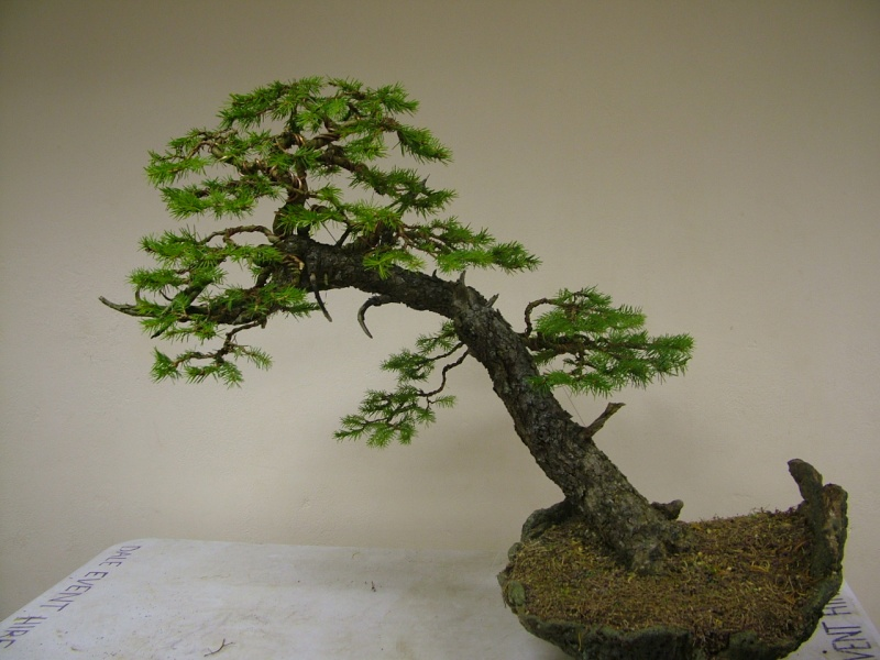 Rob Atkinson's Spruce (Picea Abies) in an Erik Križovenský pot Dscf7624_zpsf38366ba