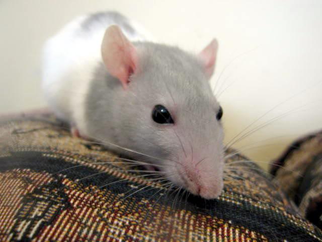 Quelle est la couleur de mon rat? Lucienlerat8