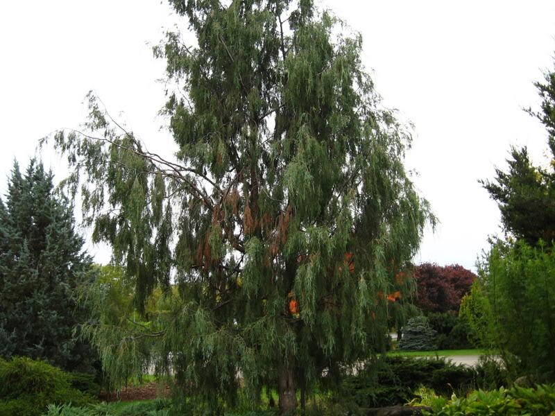 Pouver vous identifier ces arbres (jeux) IMG_24891