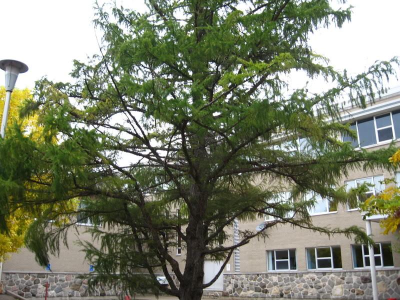Pouver vous identifier ces arbres (jeux) IMG_24991