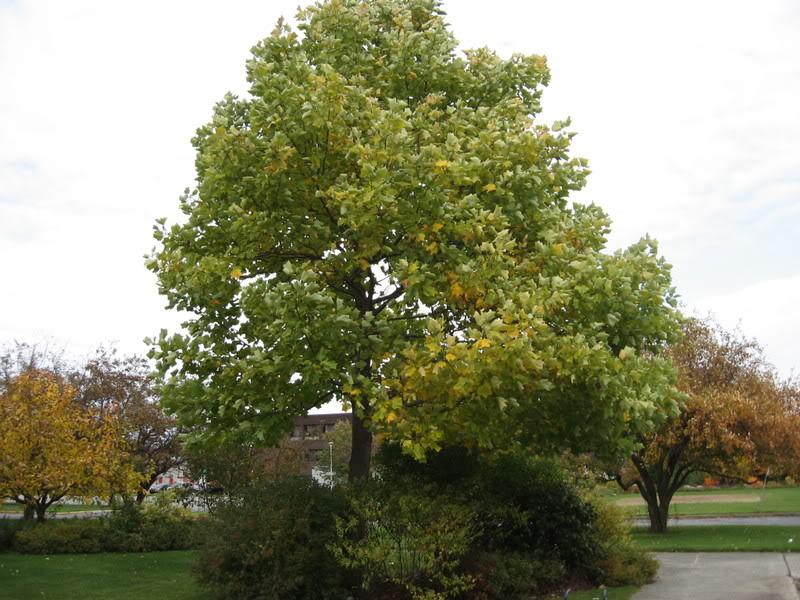 Pouver vous identifier ces arbres (jeux) IMG_25121