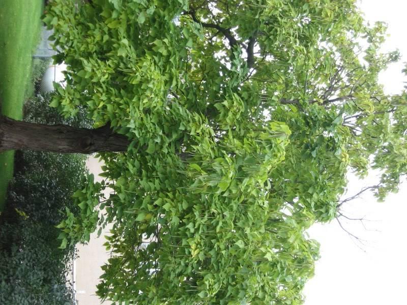 Pouver vous identifier ces arbres (jeux) IMG_25151