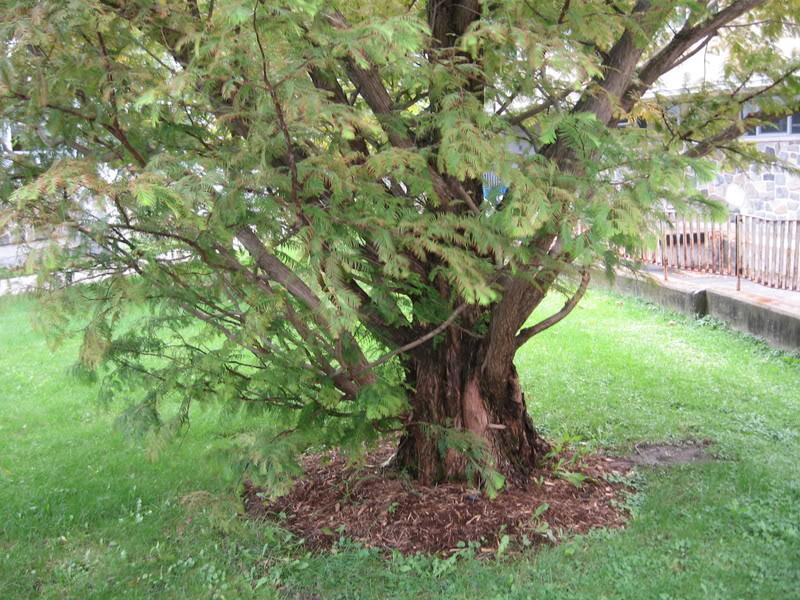 Pouver vous identifier ces arbres (jeux) IMG_25181