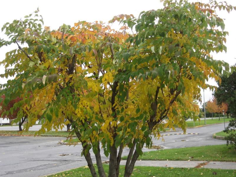 Pouver vous identifier ces arbres (jeux) IMG_25201