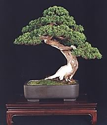Trees - Page 2 Bonsai_old2