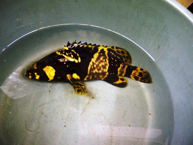 Bumble bee grouper (kerapu emas) size 15cm Kerapu1_zpsac2be99f