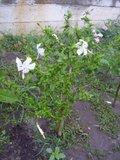 Hibiscus rosa sinensis - Pagina 40 Th_P7030300-1