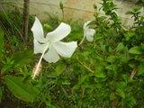 Hibiscus rosa sinensis - Pagina 40 Th_P7030302