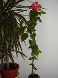 Hibiscus rosa sinensis - Pagina 40 Th_P7040306